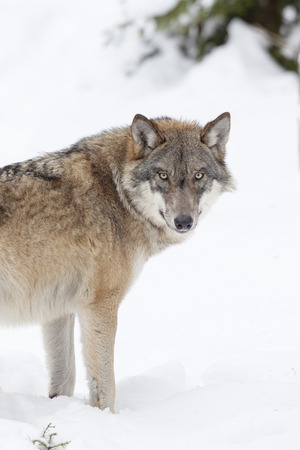 snowcovered: Gray wolf standing in snow