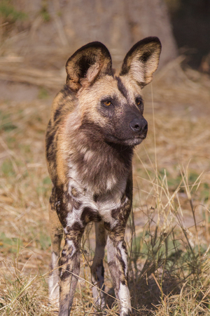 Portrait of an African wild dog in Botswana Stock Photo