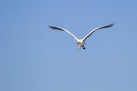 Great egret (Egretta alba), flying in blue sky