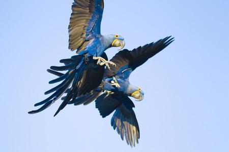 Hyacinth macaws, Anodorhynchus hyacinthinus, in Brasil Pantanal