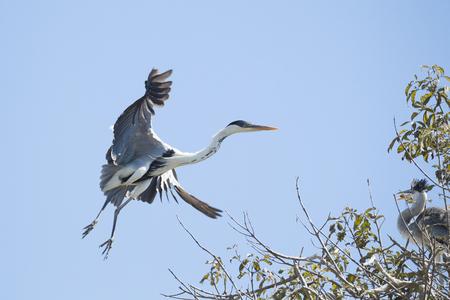 Grey heron, Ardea cinerea, landing on nest with young
