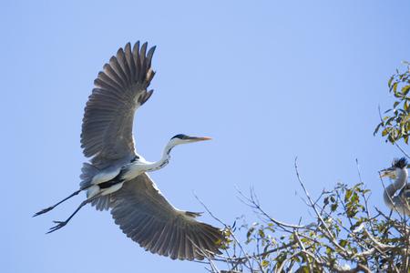 Grey heron, Ardea cinerea, flying in blue sky Stock Photo