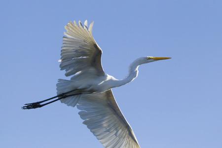 Great egret, Egretta alba, flying in blue sky Stock Photo