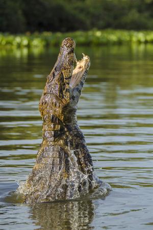 A yacare caiman, Caiman yacare, being baited to leap, Rio Claro, Brazil.