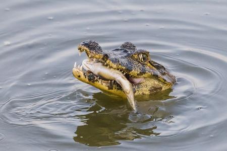Yacare Caiman, Caiman yacare, feeding on fish, Pantanal, Mato Grosso, Brazil