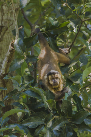 Hooded Capuchin, Cebus apella, in the nature habitat, Pantanal, Brazil Banco de Imagens
