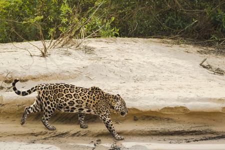 Jaguar (Panthera onca) walking on a riverbank, Pantanal, Mato Grosso, Brazil