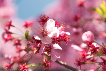 pink cherry: Pink cherry blossom Stock Photo