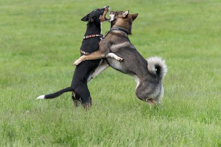 Dog fight Stock Photo