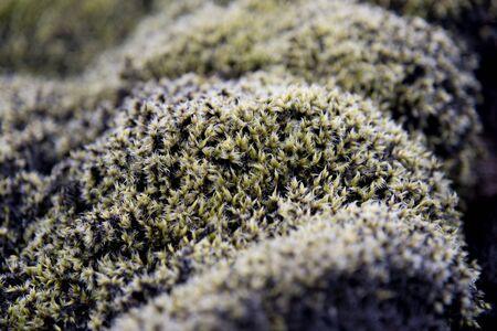 lava field: Close up on lava field moss