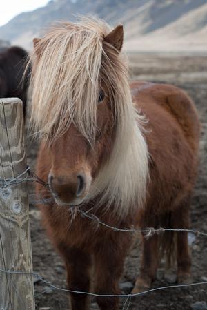 icelandic: Icelandic horse Stock Photo