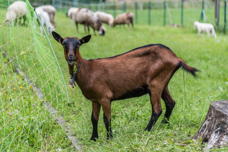 Baby brown goat while eating