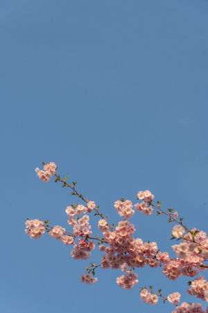 Blue sky background with cherry blossom branches and copyspace