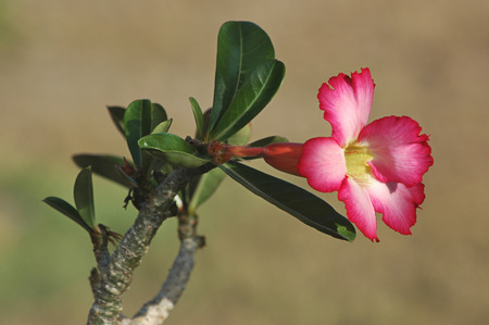 Pink Adenium obesum flower or commonly known as desert rose, or Impala lily with small leaves under midday sunlight with shallow depth of field