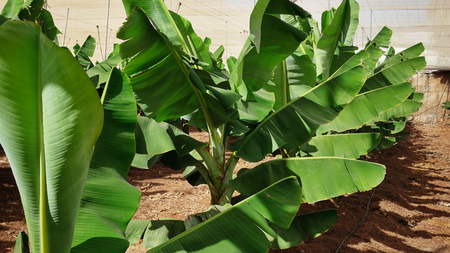 Small beautiful and healthy banana trees in a typical commercial plantation in Tenerife, with path along the trees, and net cover, valuable local food industry, and extensive export to mainland Spain 版權商用圖片