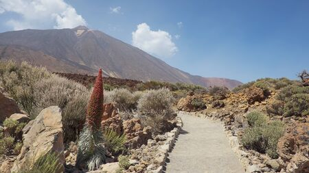 Path through Teide National Park, with the volcano, Pico del Teide surrounded by the endemic vegetation and one lonely flower of Echium wildpretii or Tajinaste Rojo, Tenerife, Canary Islands, Spain 版權商用圖片