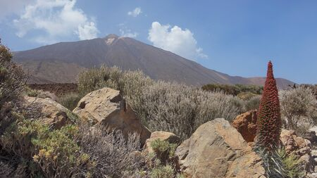 Landscape of Teide National Park, with the volcano, Pico del Teide surrounded by the endemic vegetation and one lonely flower of Echium wildpretii or Tajinaste Rojo, Tenerife, Canary Islands, Spain
