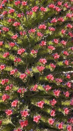 Close-up of inflorescence of Echium wildpretii, also known as Tajinaste rojo flower, protected endemic biennial plant growing at high altitude in Teide National Park, Tenerife, Canary Islands, Spain