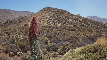 Echium wildpretii, also known as Tajinaste rojo flower, growing in its own habitat, a protected endemic biennial plant found at high altitude in Teide National Park, Tenerife, Canary Islands, Spain