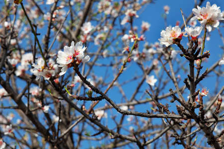 Domesticated Prunus dulcis, commonly known as sweet almond tree, with fresh twigs, brunches abundant in pale-pink flowers on
