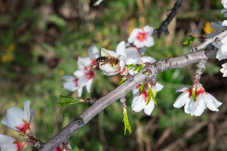 Domesticated Prunus dulcis, commonly known as sweet almond tree, with fresh twigs, brunches abundant in flowers and visited by bees collecting pollen, in Santiago del Teide, Canary Islands, Spain Stok Fotoğraf