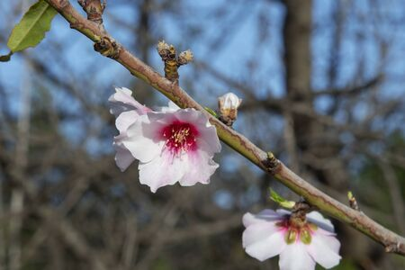 Few solitary pale pink almond flowers in bloom of the domesticated fruit tree Prunus dulcis, cultivated in warmer Mediterranean climate, popular for its delicious and healthy production of almonds 版權商用圖片