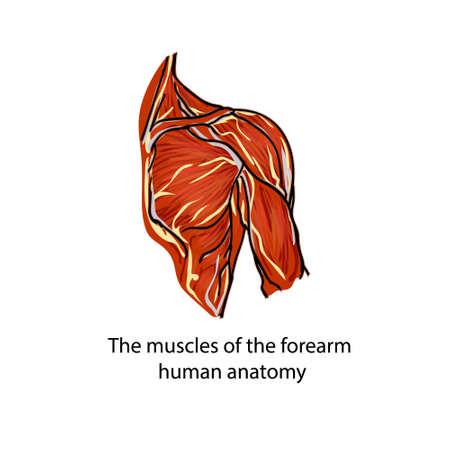 筋肉。筋線維。人間の手の解剖学.人の肩の筋肉の構造体。