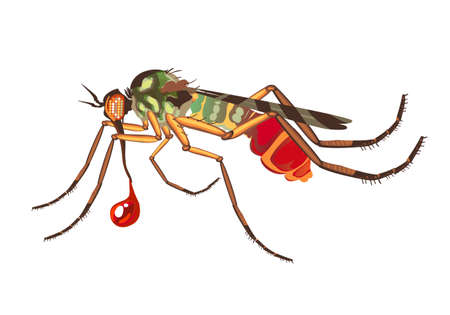fine detail: Blood sucking insect, the mosquito, with a drop of blood. The mosquito sucks blood. The big bad mosquito. Bright coloring with fine detail, not realistic art illustration in vector on white background