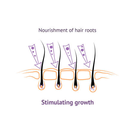 shrinking: Food roots human hair, stimulating growth in hair loss. Hair bulb the structure of the icon symbol.