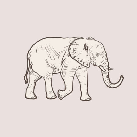 full figure: Realistic illustration of an elephant, a figure similar to the engraving of clean vector lines. An elephant in full growth.