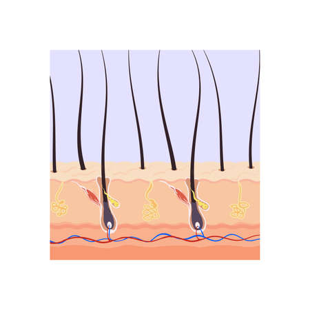 Hair growth on the human body hair follicle root in the section.