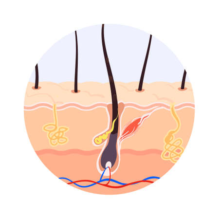 The skin layer hair Growth on the human body hair follicle in the section vector illustration. Illustration