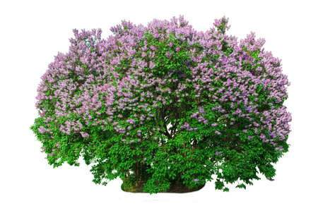 Blooming lilac bush isolated on white