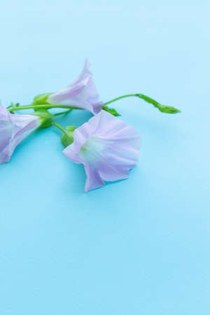 Blooming convolvulus on light blue background. Pink bindweed flower. Selective focus. Space for text. Imagens