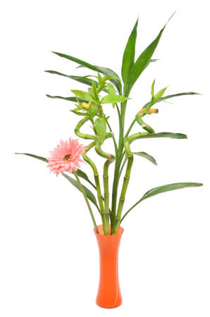 Africa chrysanthemum and lucky bamboo photo
