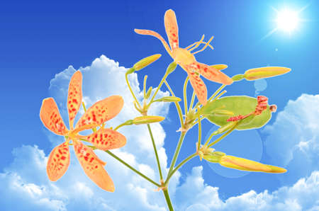 Blackberry lily photo