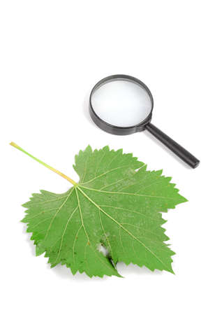 Plane tree leaf and magnifier photo