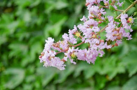 Crape myrtle flowers photo