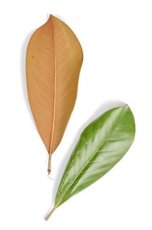 persimmon: Persimmon leaf