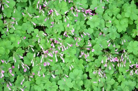 Clover Stock Photo - 12700381