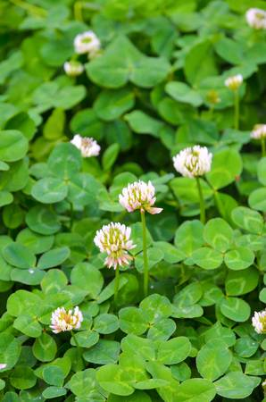 A clover of field photo