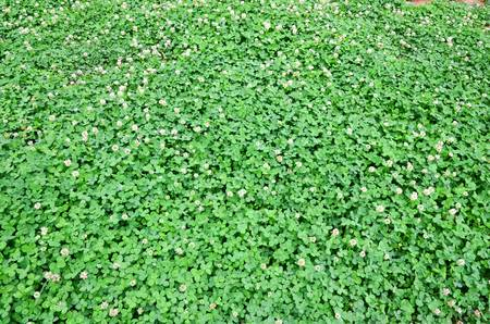 A clover of field Stock Photo - 12690126