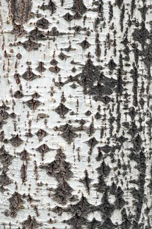 Birch bark photo