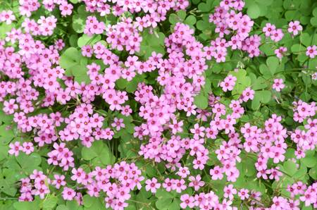 Oxalis flower