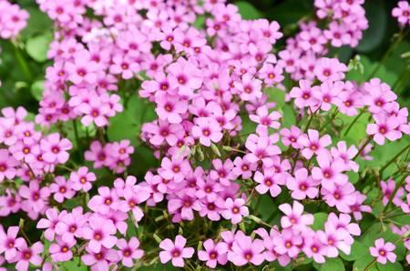 Oxalis flower Stock Photo - 12700813