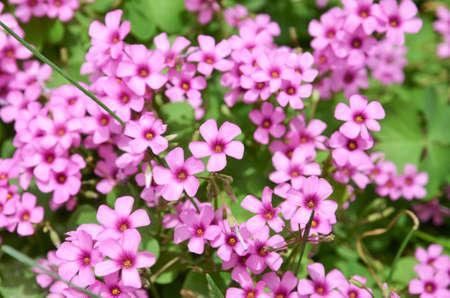 oxalidaceae: Oxalis flower