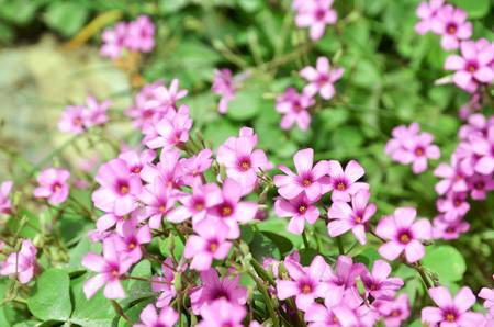 Oxalis flower Stock Photo - 12700931