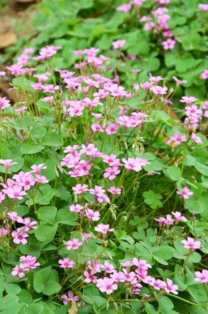Oxalis flower Stock Photo - 12700706