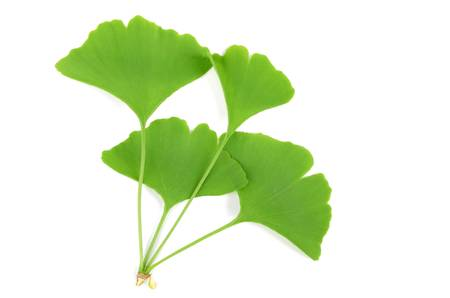 Gingko Stock Photo - 12823035