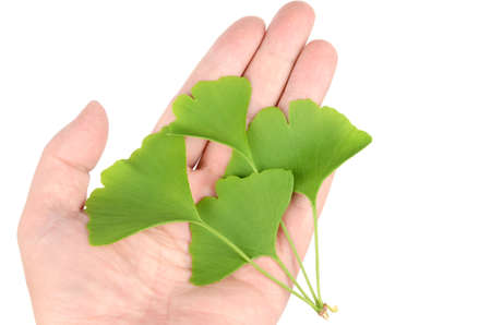 gingko: Gingko Stock Photo